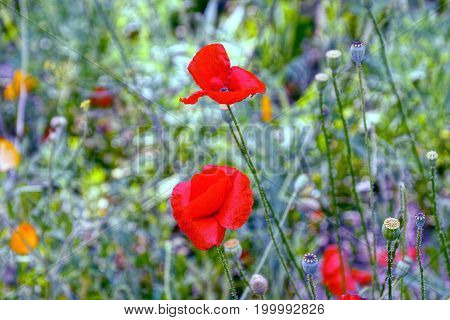 Red blossoming poppies on a green meadow