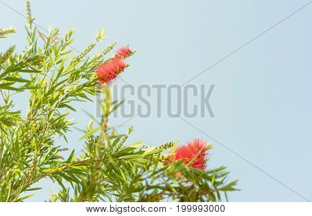 Red Australian wildflower Callistemon bottlebrush blooms in Spring against a cloudless clear blue sky background