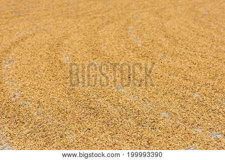 Golden wheat seeds spread out drying in the sun.