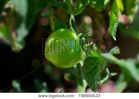 Unripe green tomato growing on plant in the orchard/garden