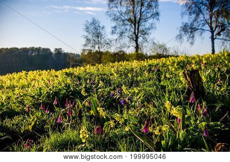 Spring Flowers In The Forest. Beautiful Snowdrops . Green Juicy Grass. Morning Sunrise In The Woods