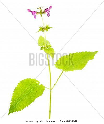 Hedge woundwort (Stachys sylvatica) isolated on white background. Medicinal plant with small purple flowers