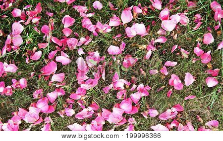 Red rose petal background on green grass