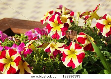Closeup of city street decoration with bright petunia flowers in wooden box
