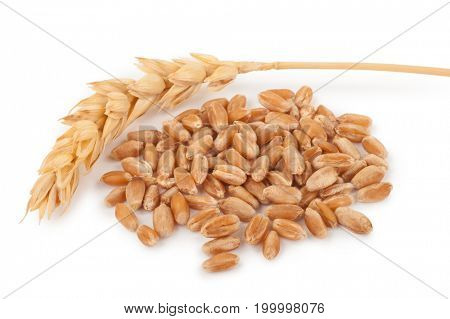 Ear of wheat and wheat grains