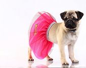 Little mobs puppy on a white background standing wearing pink skirt poster
