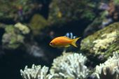 plain orange coral fish with blue eyes poster