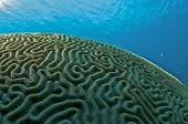Brain Coral Dome picture taken in south east Florida. poster