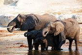 Large herd of African elephants (Loxodonta Africana) drinking from the river in Botswana poster