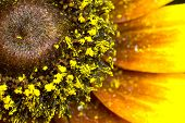 Part of a sunflower (very much a close up). Yellow leaves and pollen. poster