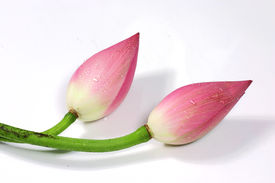 Fresh Couple Lotus