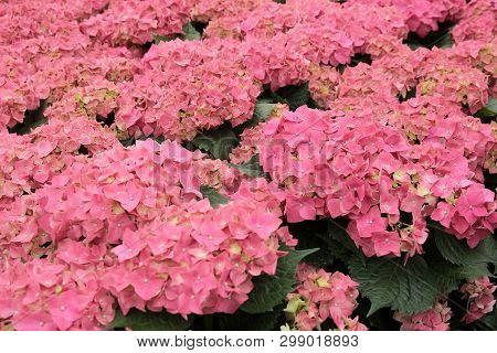 A Colorful Hydrangea Flowers On A Summer Day