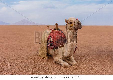 Camel in the Sinai Desert, Sharm el Sheikh, Sinai Peninsula, Egypt. poster