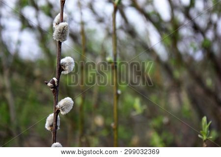 Branches Of A Willow With Buds In The Early Spring, Selective Focus. Branches Of Willow With Earring