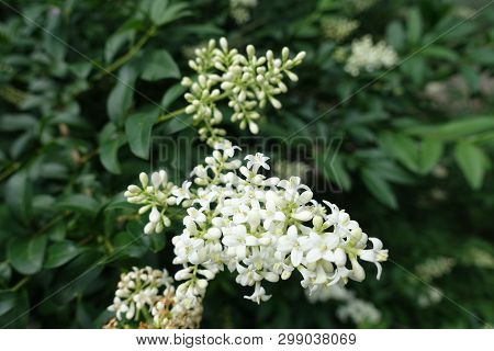 Buds And White Flowers Of Common Privet  In Spring