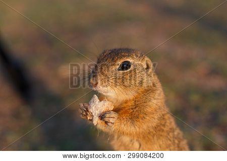 European Ground Squirrel Standing In The Field. Spermophilus Citellus Wildlife Scene From Nature. Eu