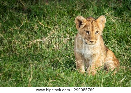 Cute lion cub, Panthera Leo, sits in the green grass of the Masai Mara in Kenya. Space for your text.