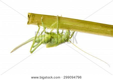 Green Grasshopper Sitting On Branch Isolated On White Background Closeup