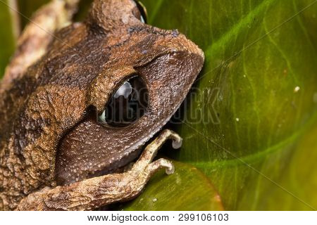 Masked Tree Frog, Frog, Frog Of Borneo ,close-up Of Frog Of Borneo