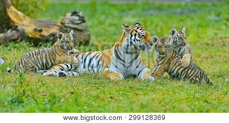 Tigress with cubs. Amur tigress with a little tiger cubs. The Amur or Ussuri tiger (Lat. Panthera tigris altaica) is a subspecies of the tiger, the northernmost tiger. Listed in the Red Book poster