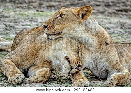 Pride-family Pack Of Lions. Pride Of Lions On Rest. The African Lion (lat. Panthera Leo). Male Lions