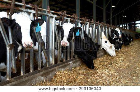 Cows Farm Kibbutz, Israel  Spring Feeding Cows