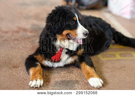 The Puppy Of Bernese Mountain Dog Breed Lais On The Floor. Close Up Portrait Of Clever Cute Dog Blac