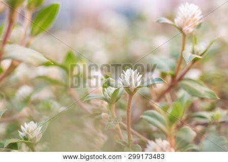 Close Up White Globe Amaranth In Grass Field Green Blurred Background