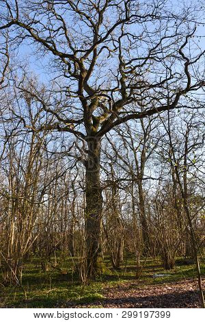 Big Oak Tree In A Forest By Early Spring Season