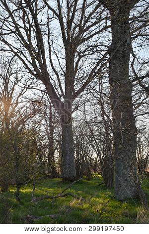 Oak Tree Forest In Evening Sunshine By Early Spring Season