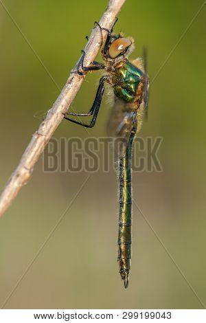 Beautiful Nature Scene With Downy Emerald (cordulia Aenea). Macro Shot Of Downy Emerald (cordulia Ae