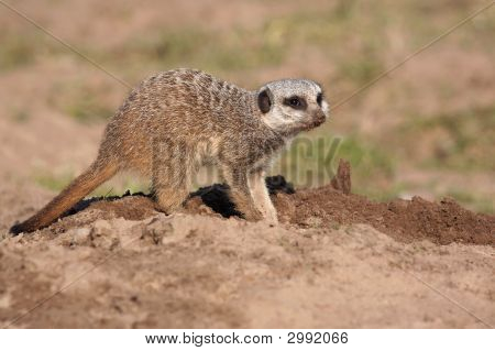Portrait of a Meerkat digging holes in the sand poster