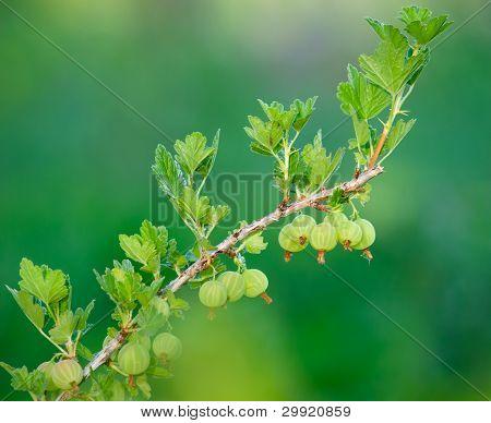 Goosberry Branch