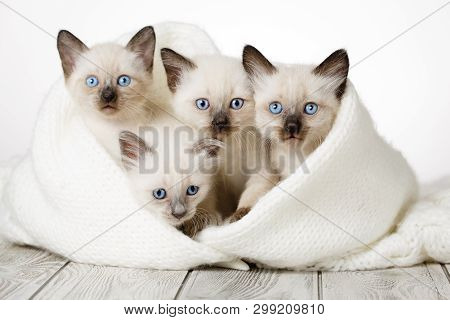 Cute Kittens On A Wooden White Background In A Cozy Blanket. Fluffy Kittens