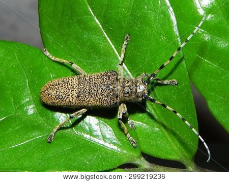 A Large Beetle Longhorn Beetle. A Huge Beetle With A Big Mustache.  Details And Close-up.