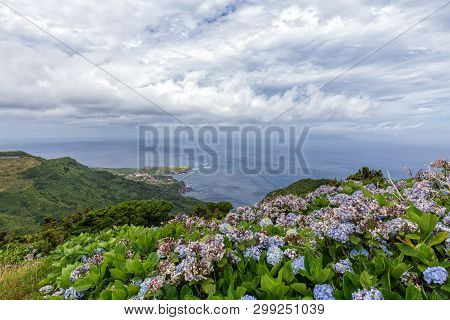 Hydreangea Flowers Bloom Above Ponta Delgada On The Island Of Flores In The Azores.