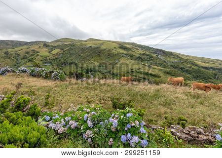 Hydrangeas Bloom Next To Cattle Grazing Above Ponta Delgada On The Island Of Flores In The Azores.