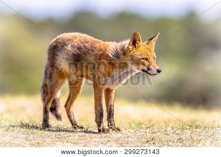 Red Fox (vulpes Vulpes) In Natural Vegetation. This Beautiful Wild Animal Of The Wilderness. Standin