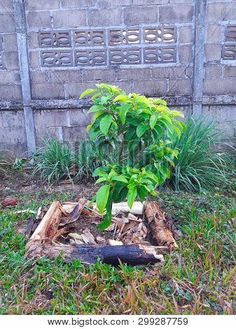 Simple Planting Of Avocado Tree Or Persea Americana - Growing Young Healthy Avocado Tree - Organic P