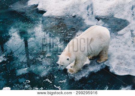 A Beautiful White Polar Bear Walk On Ice Floe In Arctic Waters. Polar Bear Mother. Ursus Maritimus W