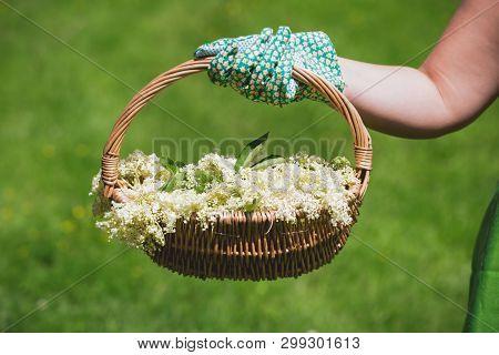 Woman Holding Freshly Picked Elderflower For Cordial Preparation, Selective Focus