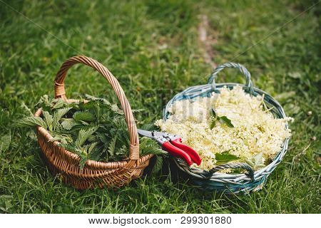 Nettle And Elderflower Season. Harvest Baskets Full Of Stinging Nettles And Elderflower, Selective F