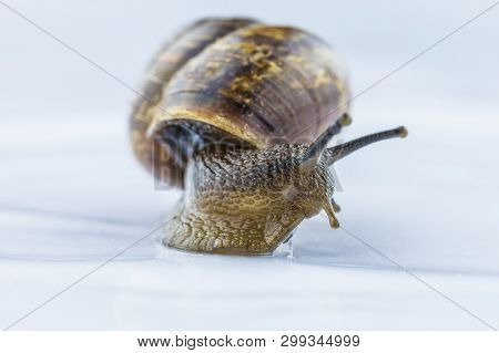 The beautiful macro shot of isolated funny inquisitive snail on the white background doing his slow stroll poster