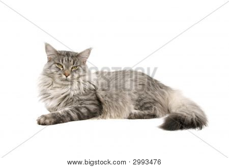 Maine Coon Cat Isolated