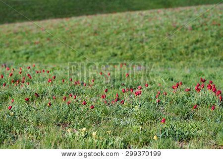 Schrencks Tulips Or Tulipa Tulipa Schrenkii And Irises In The Steppe Field