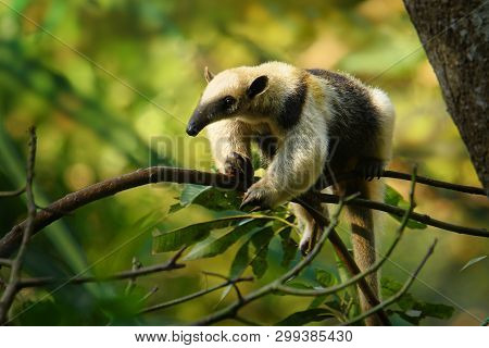 Northern Tamandua - Tamandua Mexicana Species Of Anteater, Tropical And Subtropical Forests From Sou