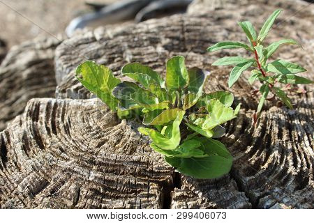 A Picture Of A Stump With A Green Little New Shoot.one The Stump With Annual Rings On The Cut Surfac