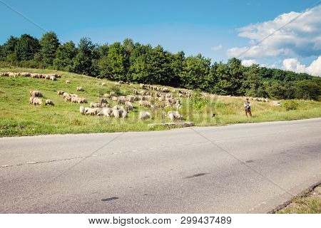 Carpathian Mountains In Romania - August 17, 2017: Shepherd And A A Herd Of Sheep Near The Road, Tra