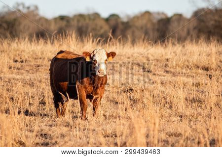 Simmental Crossbred Cow Standing To The Left In A Dormant Pasture During Golden Hour.