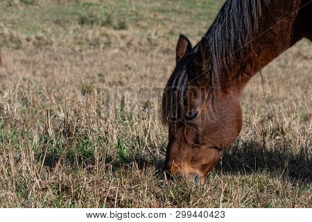 Close Up Of A Bay Horse Grazing In Brown, Dormant Grass With Negative Space To The Left For Copy.